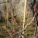 建長寺の牡丹の芽