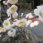 円覚寺の白梅