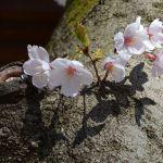 桜のひこばえ