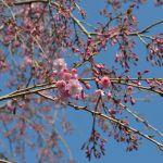 寺の紅枝垂桜