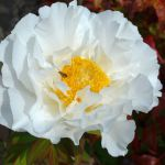 純白な牡丹
