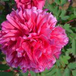 妖艶なピンクの牡丹