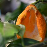 目白の食事処(庭の蜜柑)