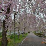 廃線跡の紅枝垂桜のトンネル