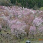 桜峠の谷一面の桜