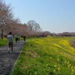 運河の花見 桜と菜の花3