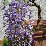 盆栽の藤の花