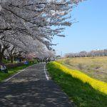 運河の桜と菜の花