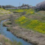 蛇行する運河の桜