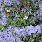 降雹の翌朝の残雹とタンポポ