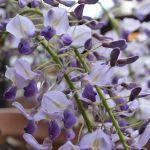 鉢植の藤の花
