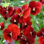 小さな花壇のビオラ