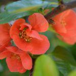 鉢植えの草木瓜(しどみ)