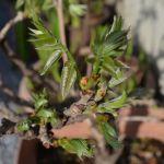 鉢植えの藤の芽吹き