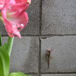 アマリリスと蜥蜴