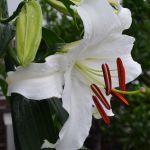 初咲きのカサブランカの横顔