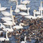 憩う水鳥たち(瓢湖)
