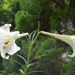 遅咲きの白百合