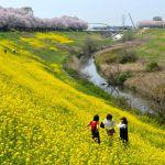 利根運河の菜の花と桜