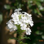 白い花魁草