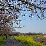 運河の花見 桜と菜の花1