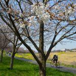 運河の花見 桜と菜の花2