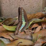 庭の片隅の青すじ揚羽蝶 その1