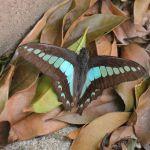 庭の片隅の青すじ揚羽蝶 その2