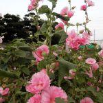 農家の畑の立葵