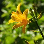 トビシマカンゾウの花