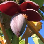 奄美大島のバナナの花