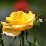 港の見える丘公園のバラ園の薔薇