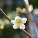 梅一輪(初咲き)